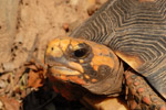 Red-footed tortoise at the dry forest