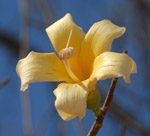 Flower of a Bottle tree, <i>Ceiba chodatii</i>