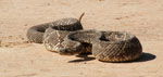 South American rattlesnake, <i>Crotalus durissus terrificus</i>