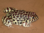 Red-spotted burrowing-frog, <i>Leptodactylus laticeps</i>