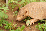 Chacoan naked-tailed armadillo, <i>Cabassous chacoensis</i>