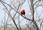Scarlet-headed blackbird, <i>Amblyramphus holosericeus</i>
